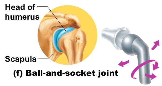 Ball And Socket Joint Diagram