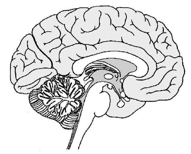 diagram of human brain