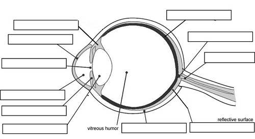 Dog eye diagram blank residential electrical symbols blank eye diagram rh healthiack com blank neuron diagram human eye diagram ccuart Choice Image