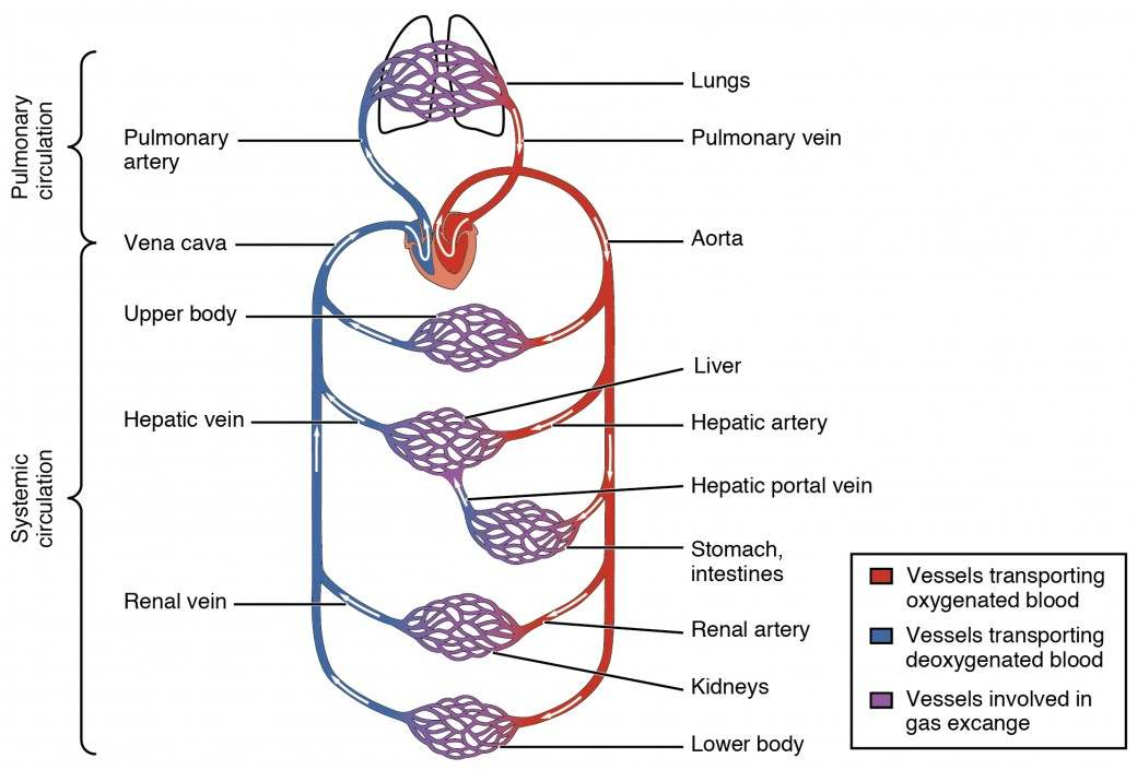 blood vessels diagram