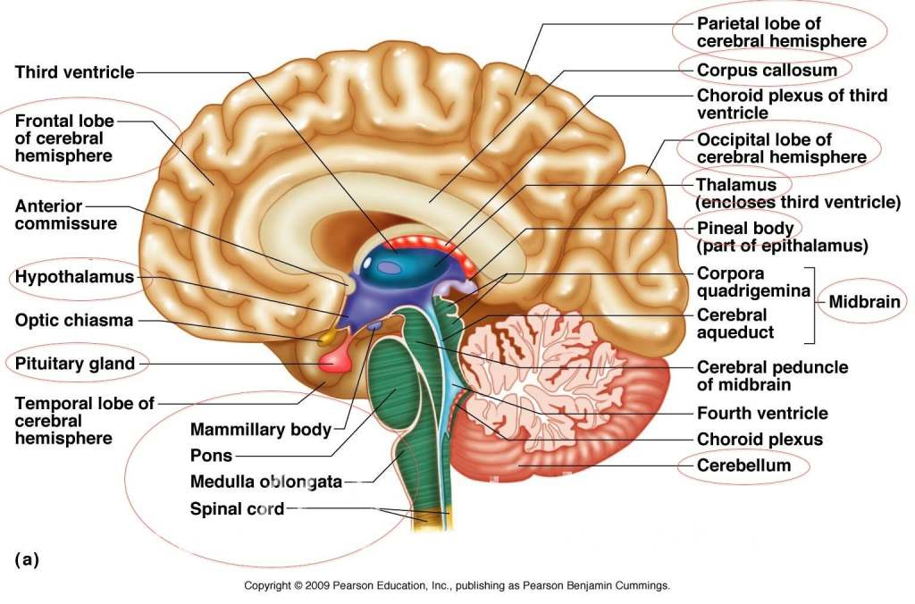 Human Brain Anatomy Diagram Anatomy Of Human Brain Anatomy Of Human