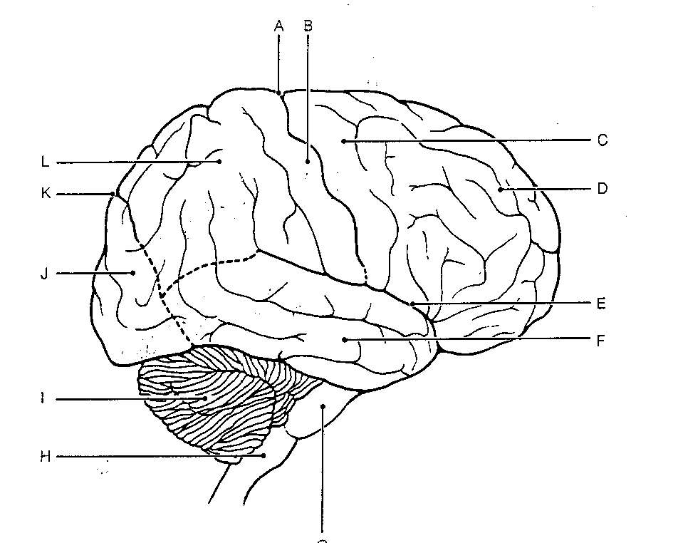 It's just a photo of Selective Brain Anatomy Coloring Book