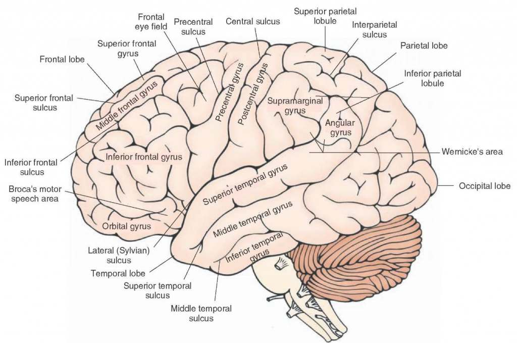 Brain Diagram Encyclopedia - Wiring Diagram Posts