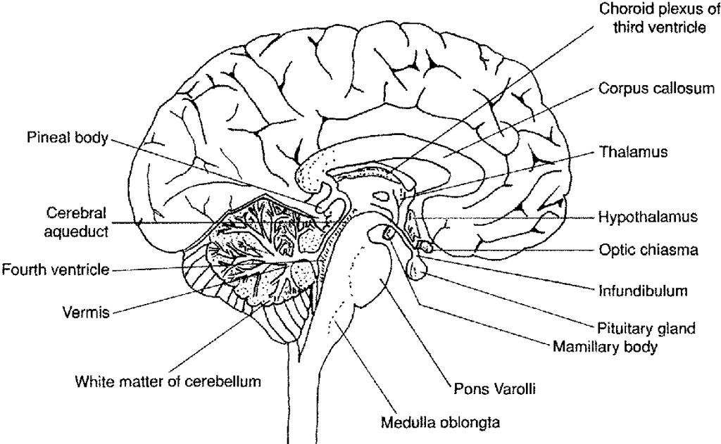 Brain Diagram Labeled