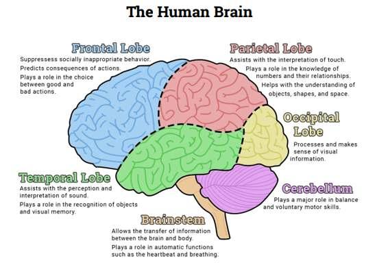 brain lobes diagram. Black Bedroom Furniture Sets. Home Design Ideas
