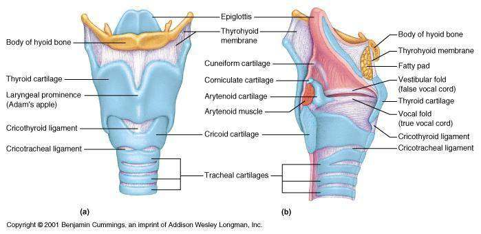 Diagram Of Larynx