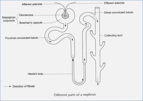 Diagram Of Nephron Another Wiring Diagrams