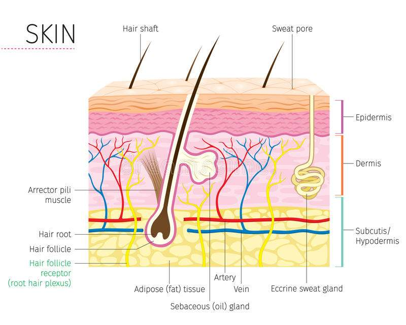Diagram Of The Skin