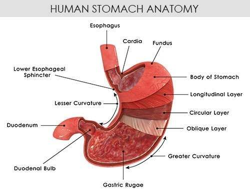 Diagram of the stomach