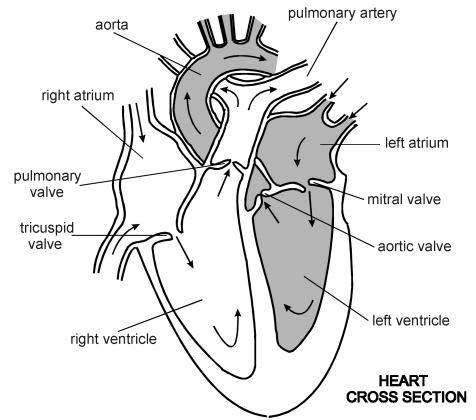 Easy Diagram Of Heart