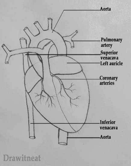 Easy Heart Diagram