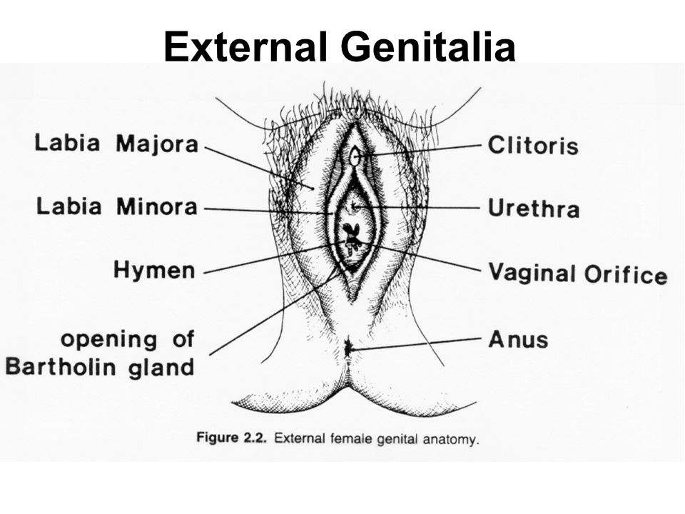 Female Genitalia Diagram