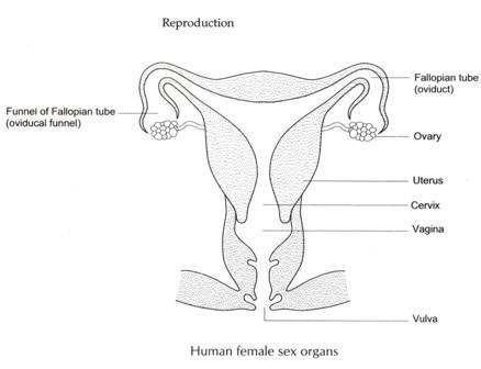 female reproductive system diagram. Black Bedroom Furniture Sets. Home Design Ideas