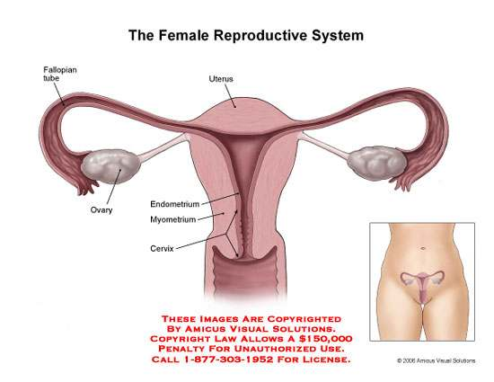 Female reproductive system diagram labeled