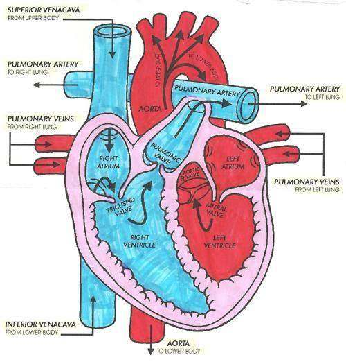 Heart diagram ccuart Choice Image