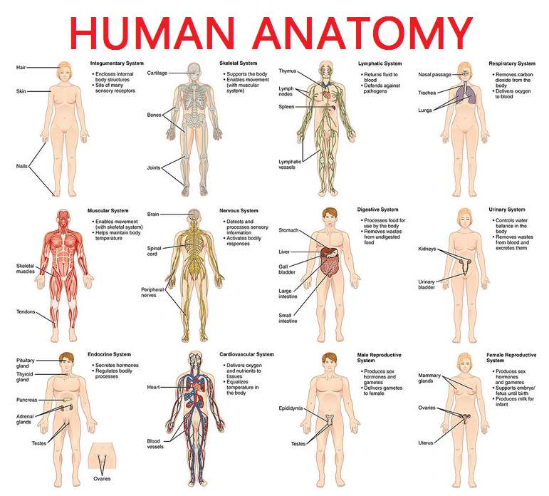 Human body       diagram      Healthiack