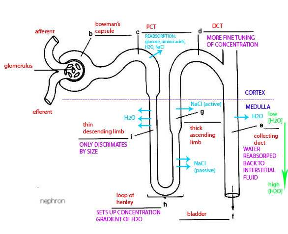 Kidney Nephron Diagram