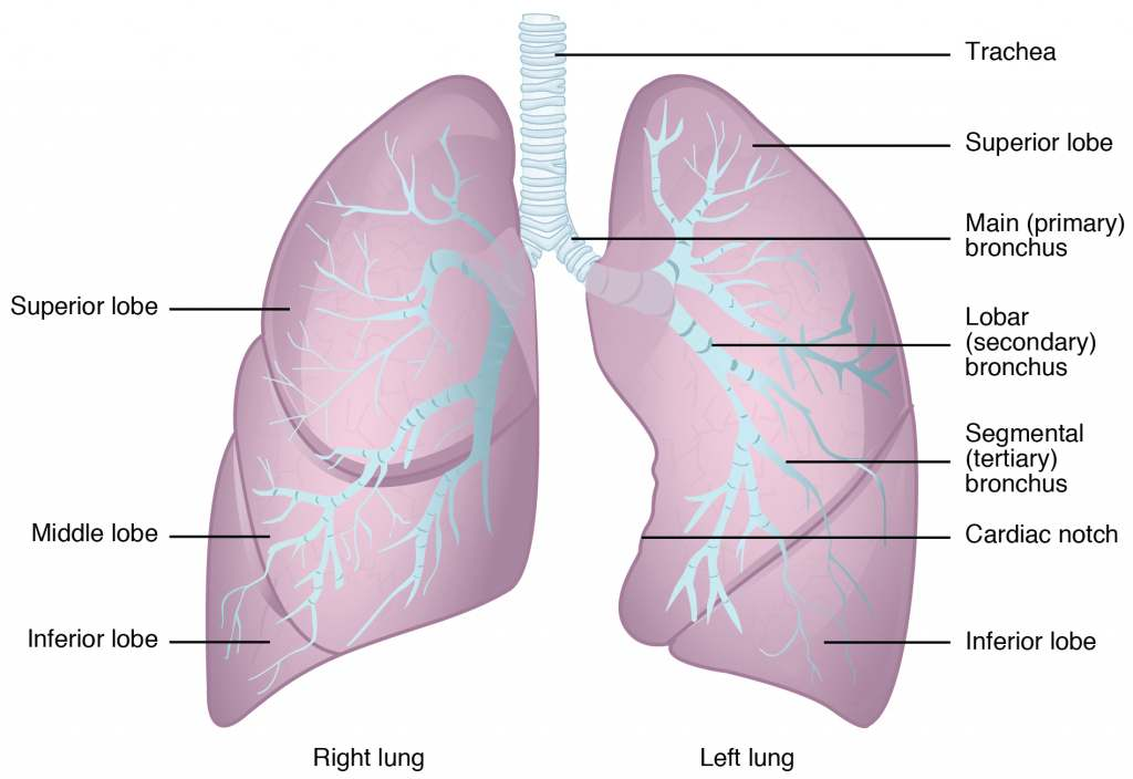 Lung Diagram on Unlabeled Diagram Of Larynx