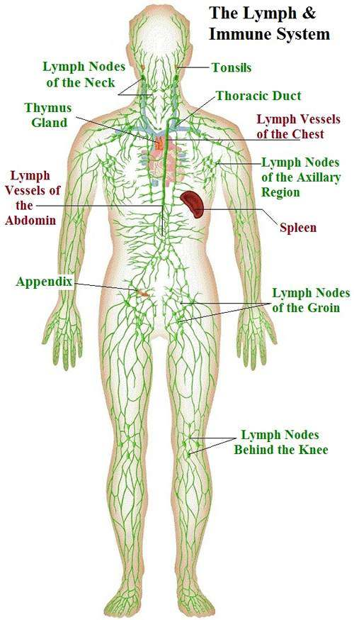 Lymphatic System Diagram
