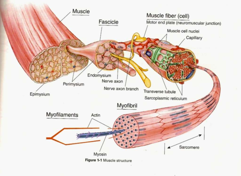 Muscle    cell    diagram