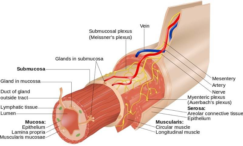 Oesophagus diagram
