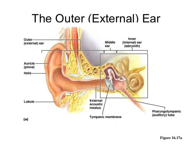 Outer ear diagram