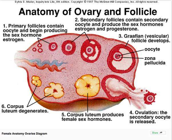 Ovary Diagram