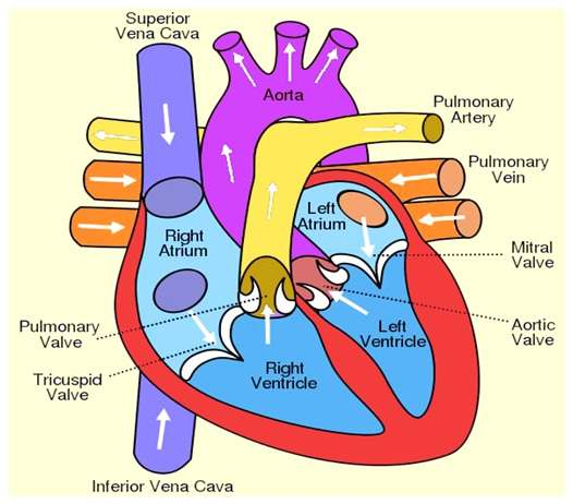 Parts of the heart diagram