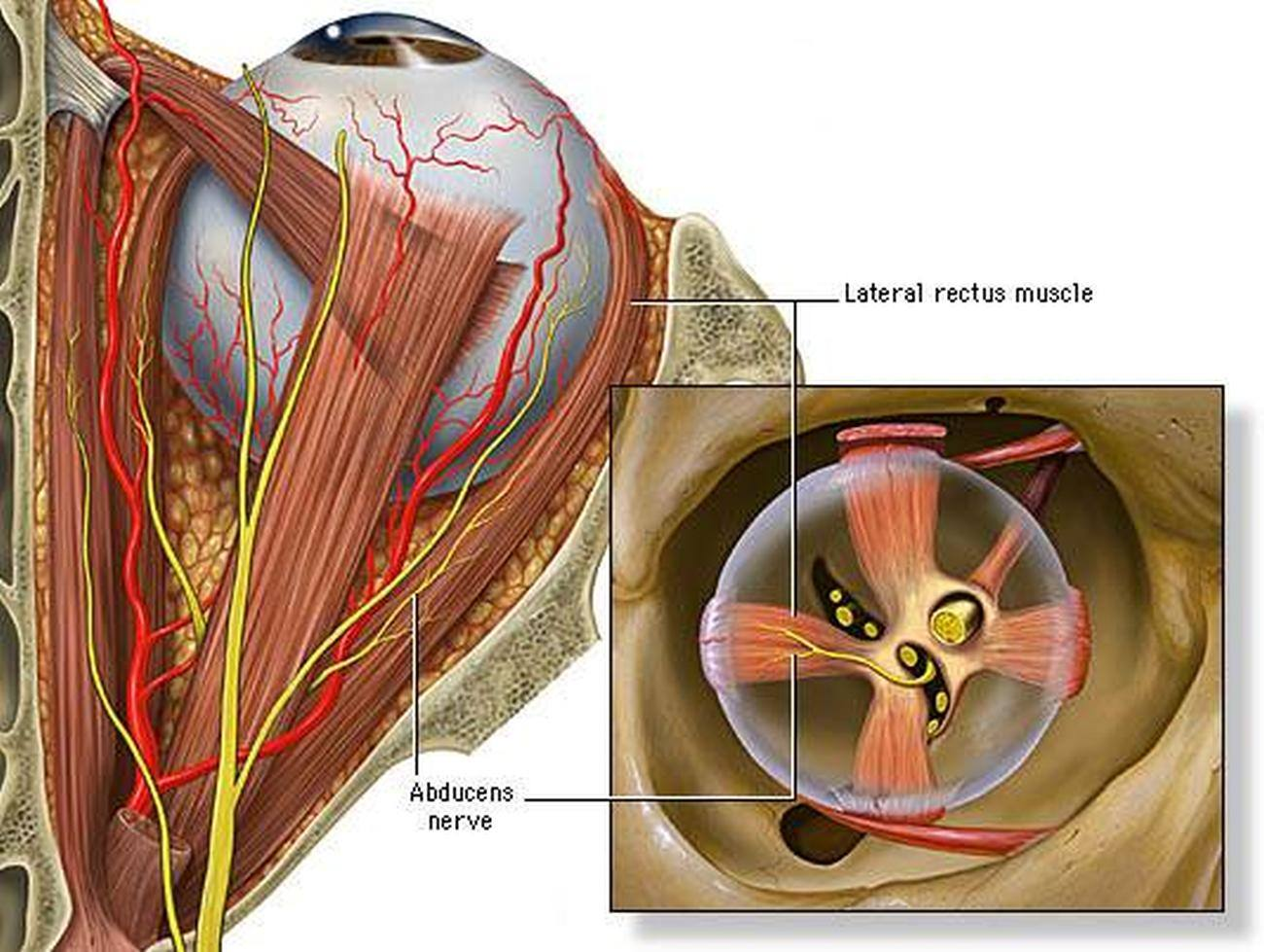 Pictures Of Abducens Nerve