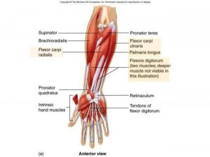Pictures Of Abductor Pollicis Brevis Tendons