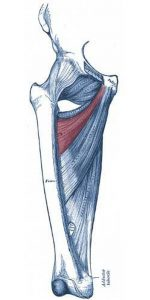 Pictures Of Adductor Brevis
