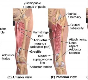 Pictures Of Adductor Brevis Tendons
