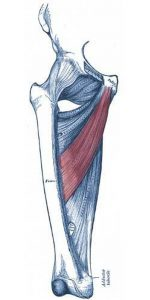 Pictures Of Adductor Longus