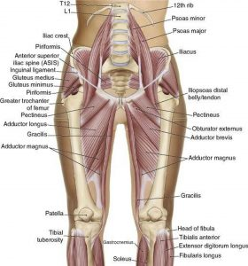 Pictures Of Adductor Longus Tendons
