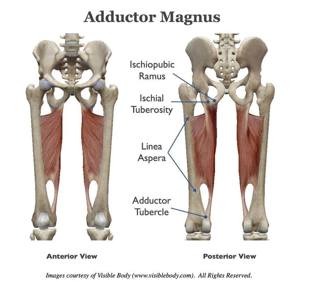 Pictures Of Adductor MagnusHealthiack