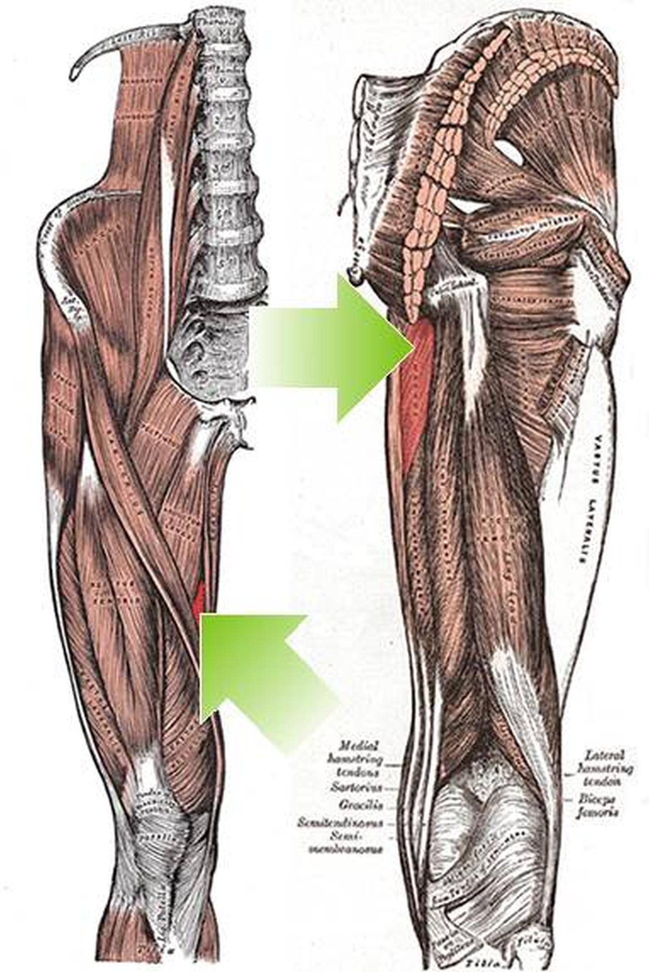 Right and ventral aspect muscles of thigh: 3: iliopsoas, 5 ... |Adductor Brevis Cadaver