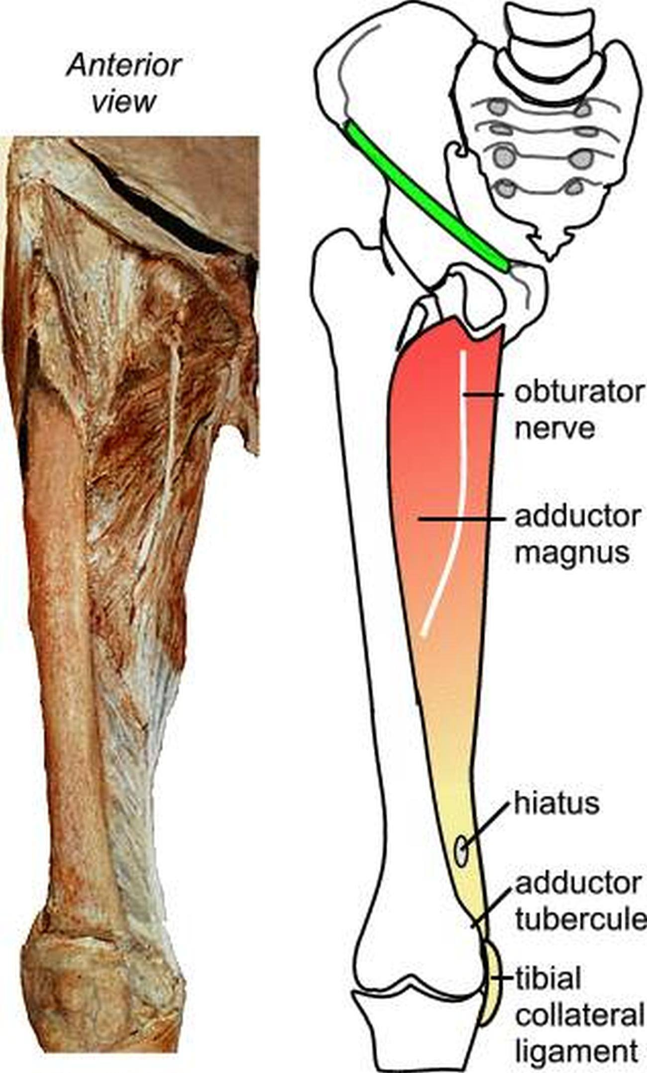 Pictures Of Adductor Magnus Tendons