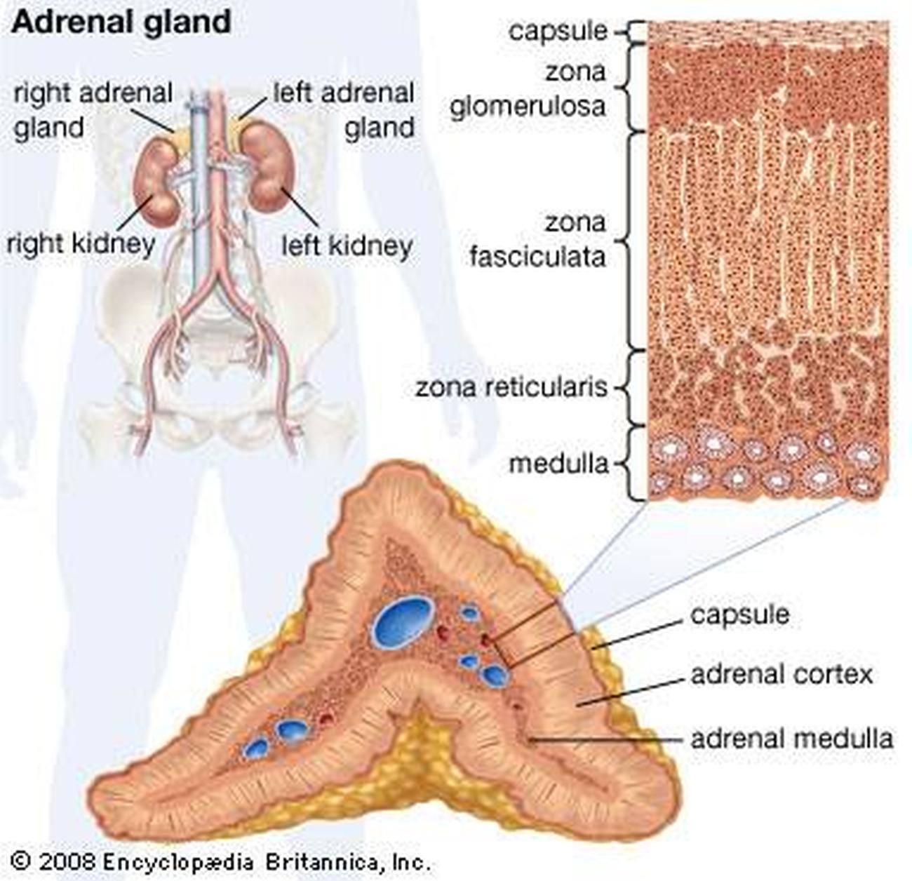 Adrenal cortical
