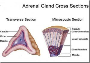 Pictures Of Adrenal Cortex
