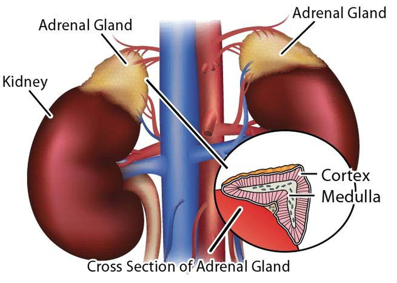 Adrenal gland weight loss