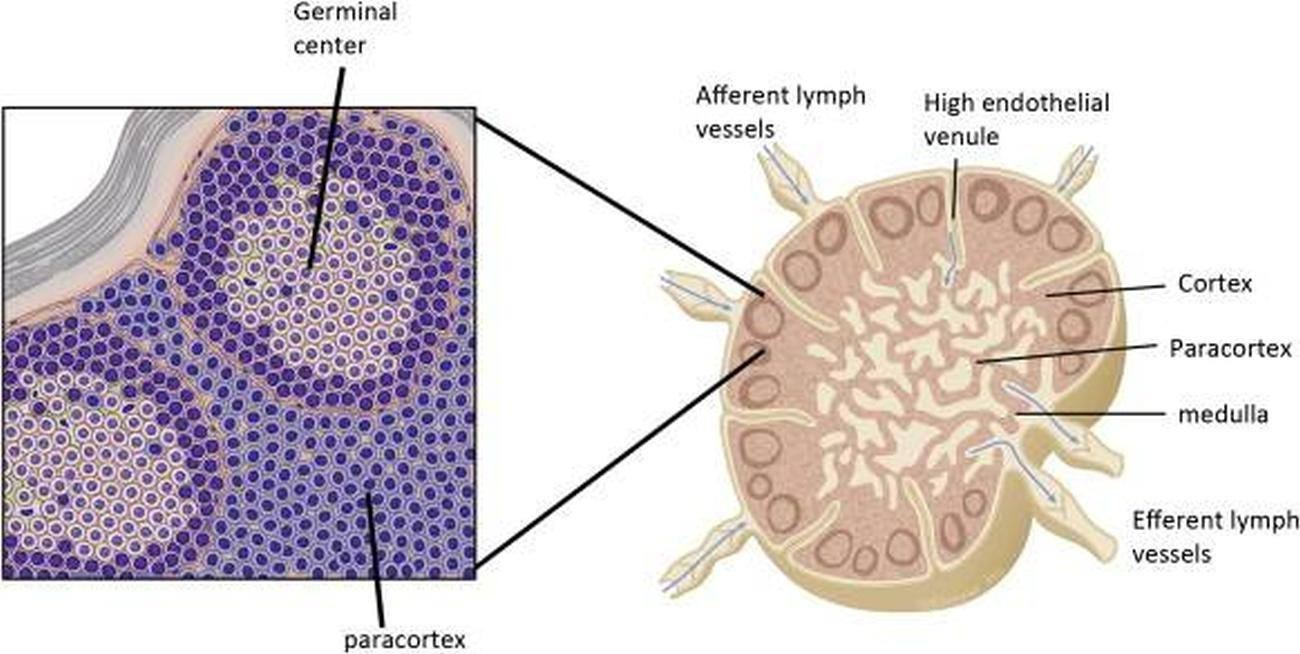 pictures of afferent lymph vessels