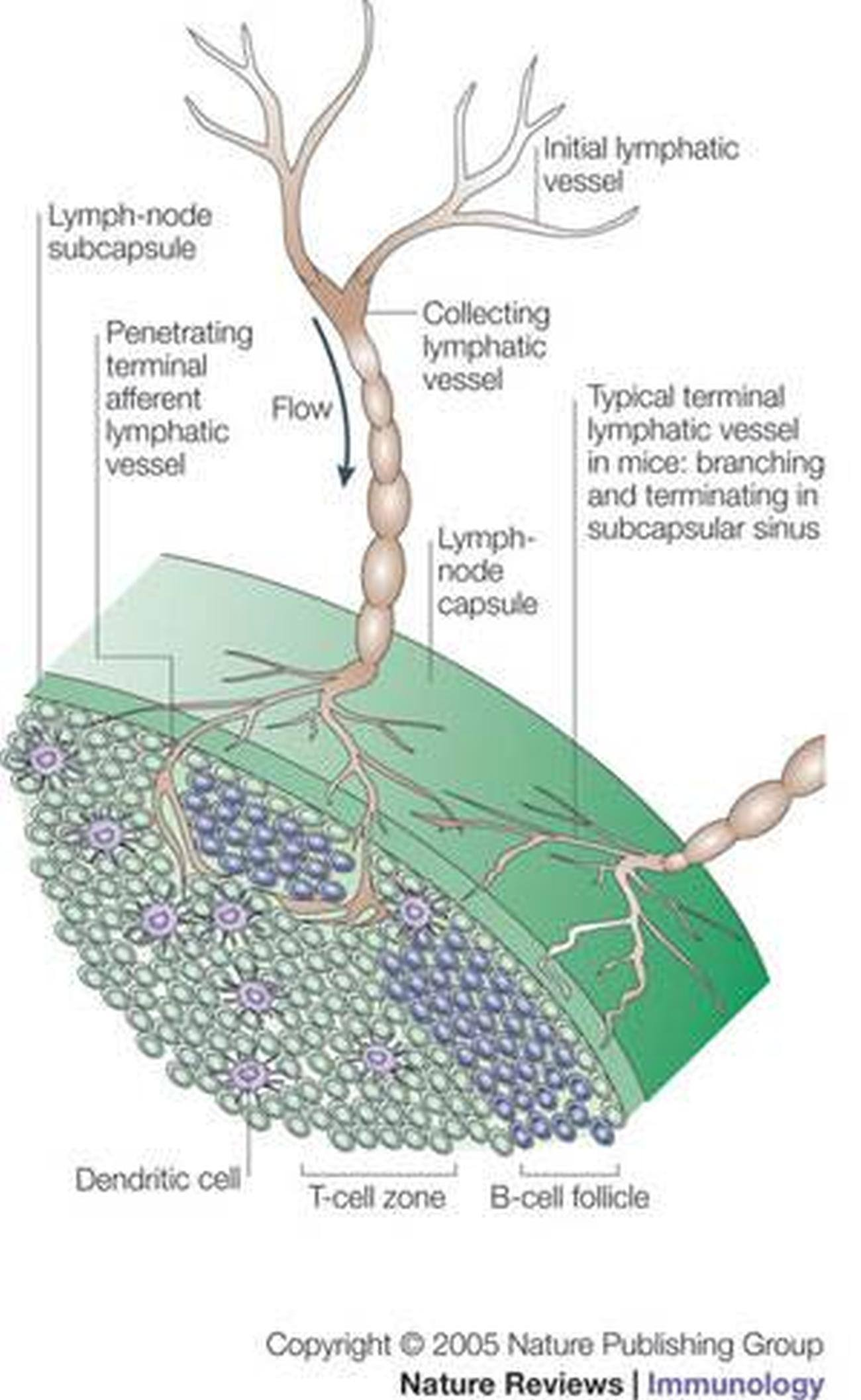 afferent lymphatic vessels Lymphatic vessels are part of the lymphatic system and transport lymph  tissue  fluid is collected by the afferent lymphatic vessels which drain.