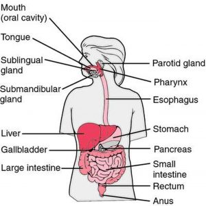Pictures Of Alimentary Canal