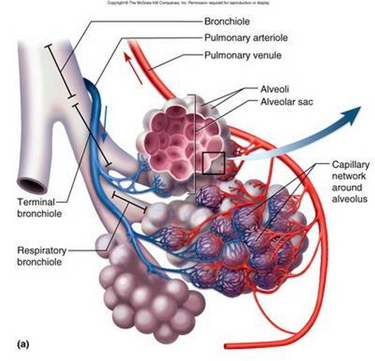 Pictures Of Alveoli
