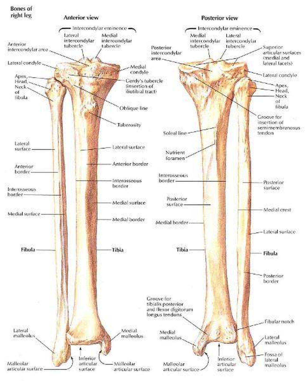 Pictures Of Anterior Crest Of The Tibia