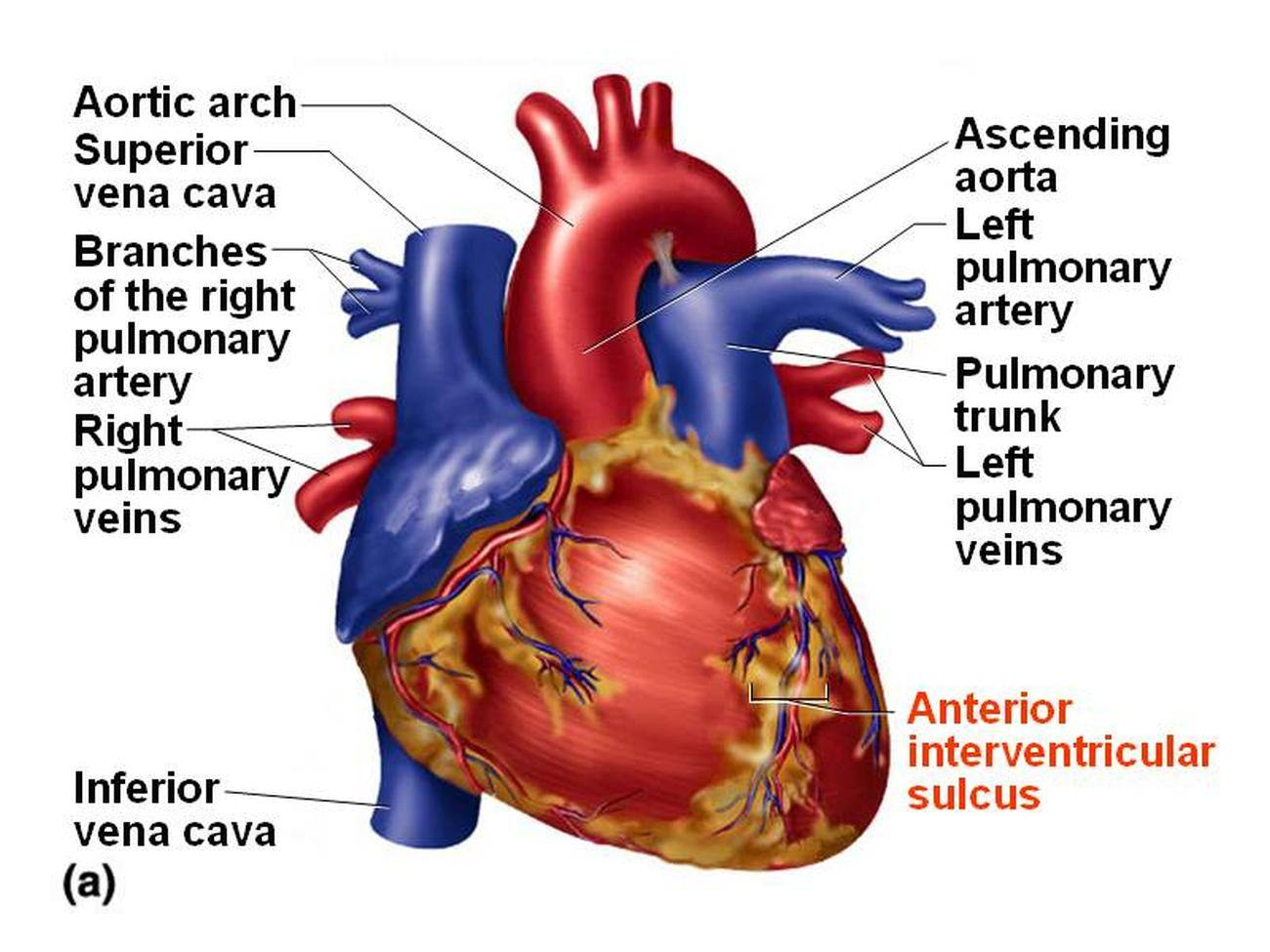 Pictures of Anterior Interventricular Artery 427
