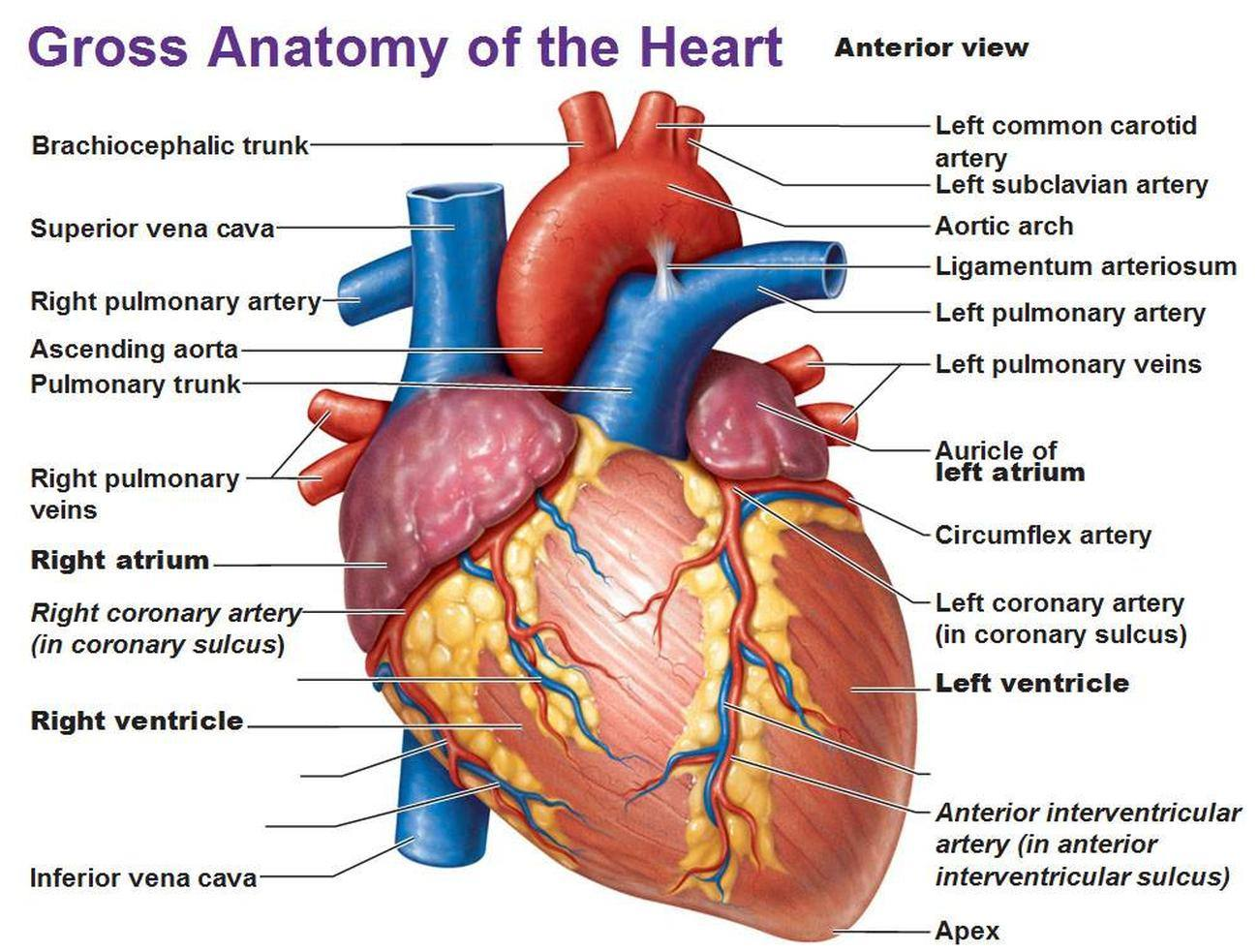 Pictures Of Anterior Interventricular Artery