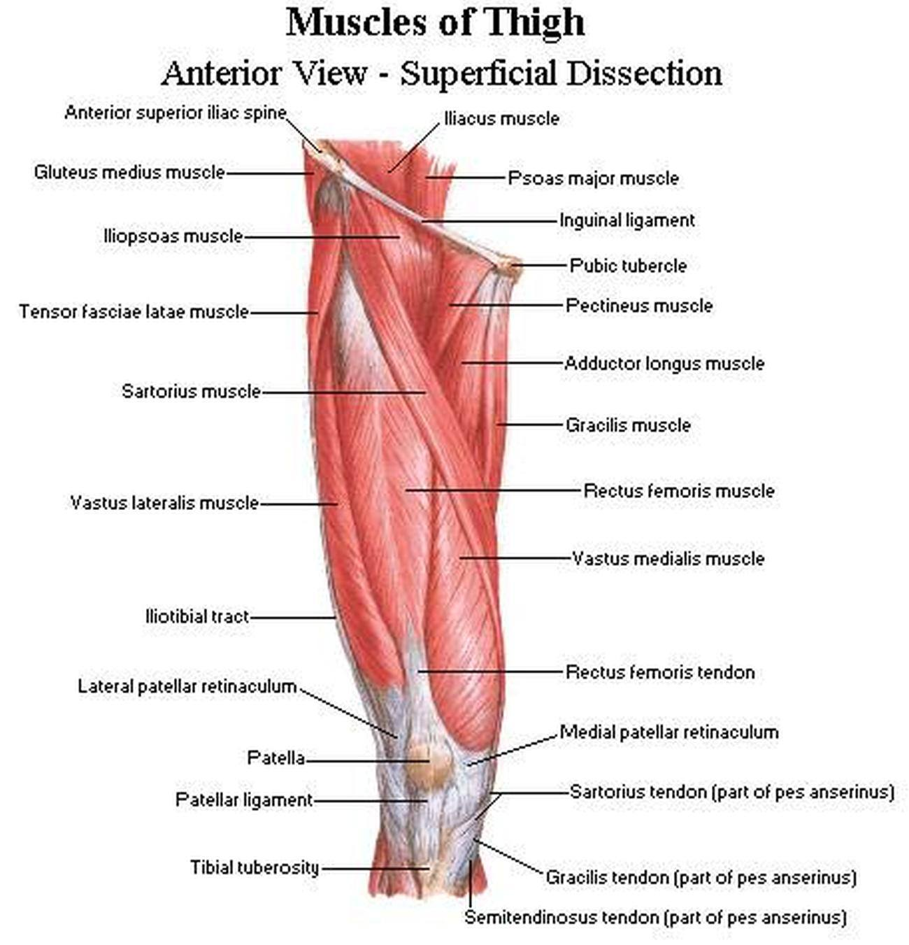 Pictures Of Anterior Thigh Muscleshealthiack
