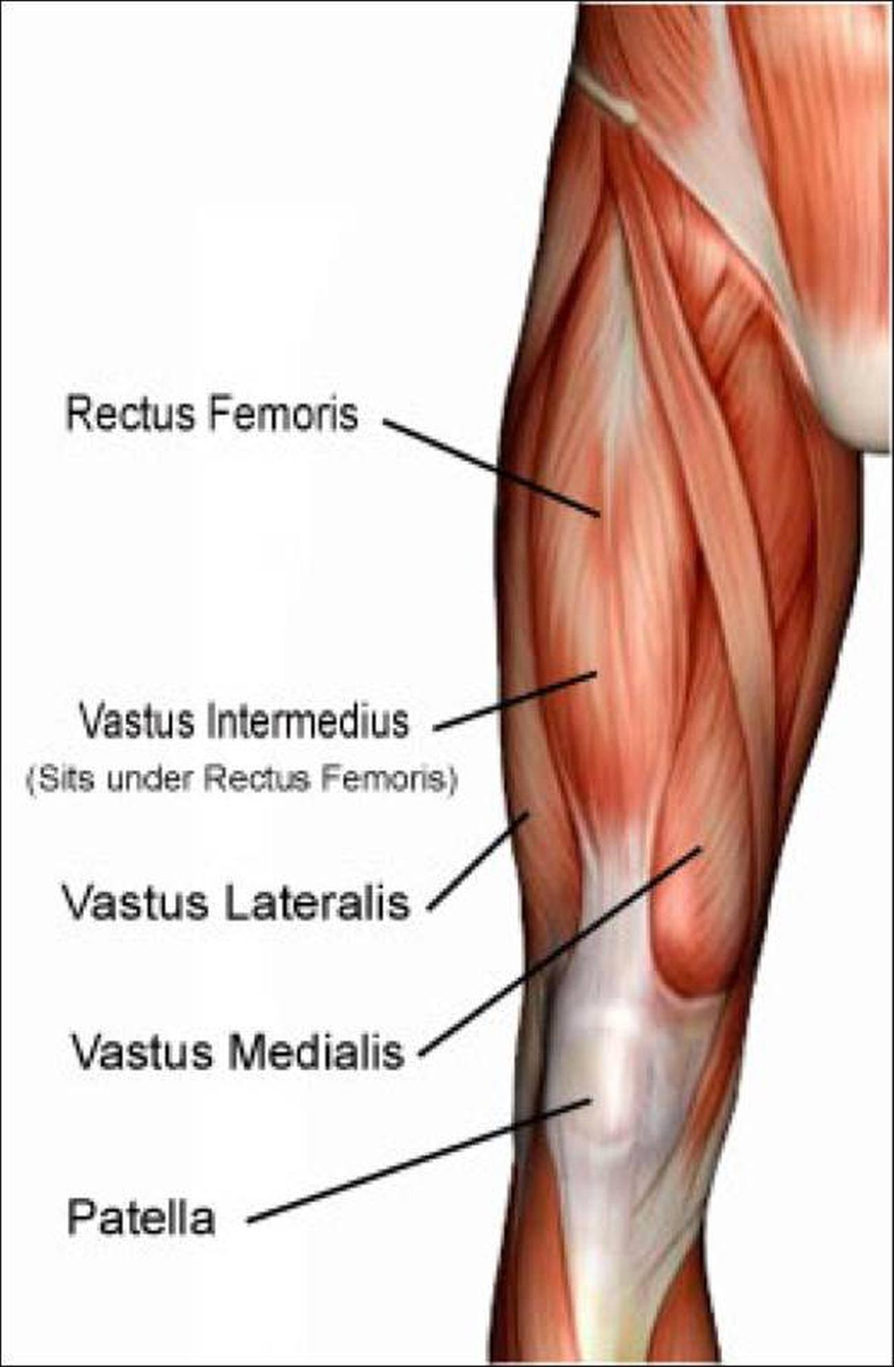 Pictures Of Anterior Thigh Muscles