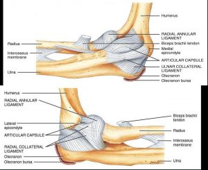 Pictures Of Anular Ligament Of The Radius